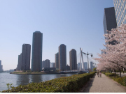 Scenic Tokyo with cherry blossoms in spring