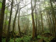 Aokigaraha Forest near Mount Fuji