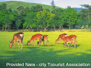 Wild deer grazing in Nara Park