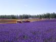 The huge lavender fields of Biei, Hokkaido