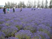 Wandering through a field of lavender in Biei
