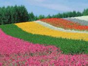 Stripes of bright flowers at Farm Tomita