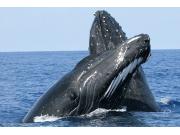 north shore whale