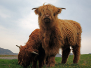 4 Highland Cows
