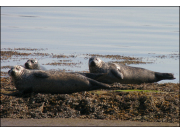 2 Cromarty Firth Seals