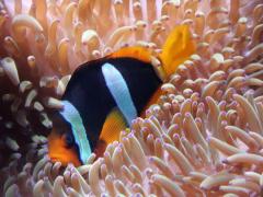 Clownfish2_NA