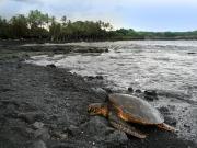 Punaluu_Turtle