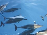 Dolphins_Underwater_LG