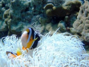 Clownish hiding in an anemone