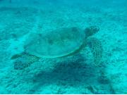 Turtle_NA