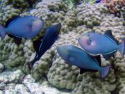 Purple_Fish_Coral