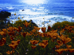Monterey Field of California Poppys