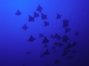 11-Rangiroa-Diving-CopyrightSylvainGirardot