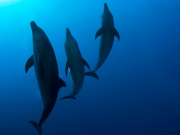 04-dauphins-photo-V.Truchet