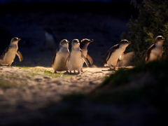Penguin Parade (ANY PP TOUR)