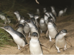 The Penguin Parade_edited