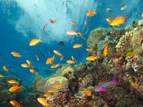 SOF-Antheas-&-Reef