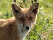 Japanese fox in Hokkaido