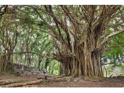 Banyan Trees at Rainbow Falls