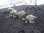 Turtles at Black sand beach
