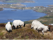 Connemara Tour - Country sheep