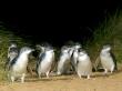 Bunyip Tour Penguin