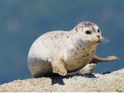 Harbour Seals 3
