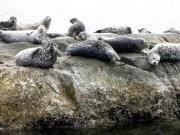 Harbour Seals 1