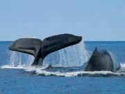 wahine_charters_whale01
