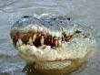 785.crocodile