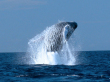 humpback-whale02