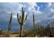 sugaro_cactus