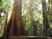 Rainforest Treet