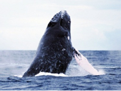 Whale breaching the water in Okinawa