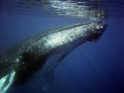 humpback_underwater01