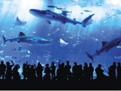 Whale sharks in the Churaumi Aquarium