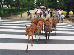 The deer of Nara, crossing the road at the park