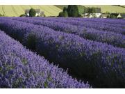 bigstock-Lavender-Fields-1023604