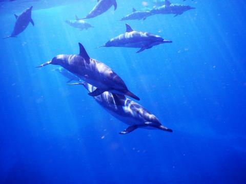 ハワイ イルカ に対する画像結果