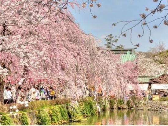 Cherry Picking Tour Japan