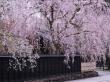 Japan Shidare Weeping Sakura Kakunodate