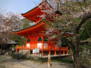 紀三井寺 多宝塔の桜1