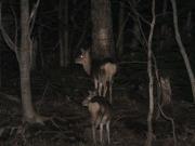 夜の動物ウォッチング:シカ