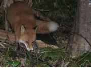 夜の動物ウォッチング:キタキツネ