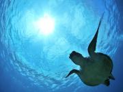 ボートスノーケル)アオウミガメ