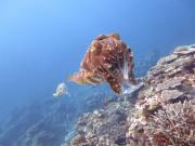 体験ダイビング)コブシメ