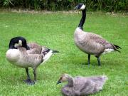Canada Geese @ VanDusen Gardens-2-crop