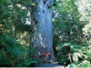 Waipoua-Forest-Northland-Destination-Northland