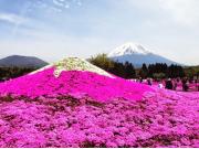 Fuji Shibazakura Festival3
