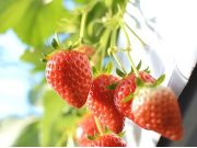 Strawberry Picking and all-you-can-eat2